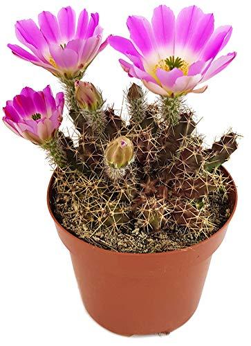 Fangblatt - Echinocereus pentalophus - exotischer Kaktus - pflegeleichte Sukkulente/Zimmerpflanze -