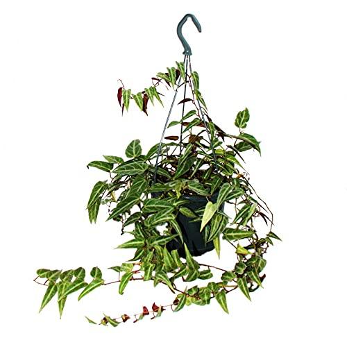 Exotenherz - Zimmerpflanze zum Hängen - Amazonas-Dschungelrebe - Parthenocissus amazonica - 14cm...