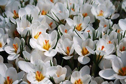 Crocus Ard Schenk - 10 Blumenzwiebeln