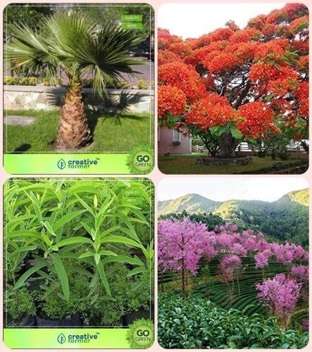 Pinkdose Pflanzensamen Livistona Chinensis