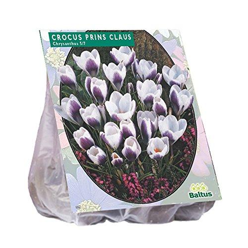 Glooke Selected BALTUS Crocus Chrysanthus Prins Claus Blumenzwiebeln für Garten & Hort, Mehrfarbig