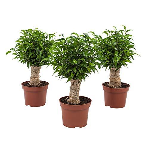 3er Set Indoor-Helden Ficus benjamina - Birkenfeige, Topf-Ø: 12 cm, Höhe: 35 cm Kleiner Zimmerbaum