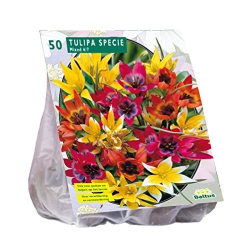 Tulipa Specie mix 40 Stück Tulpen Blumenzwiebel