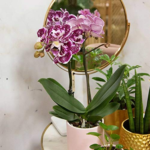 Pflanzen Kölle Schmetterlingsorchidee, 2 Rispen, gesprenkelt, Höhe ca. 30 cm