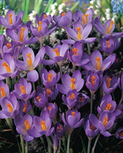 100 Botanische Krokusse Barr's Purple Blumenzwiebeln Crocus