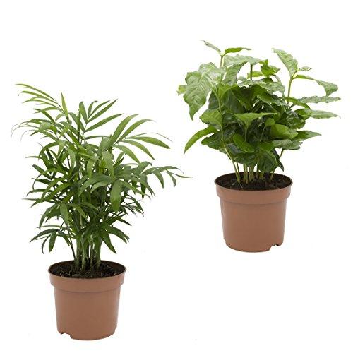 Dominik Blumen und Pflanzen, Kaffee mit Zimmerpalmen-Duo