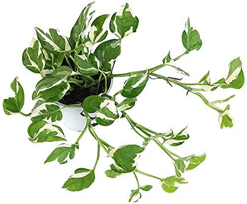 Fangblatt - Epipremnum pinnatum 'N-Joy' - panaschierte Efeutute - grün-weiße Zimmerpflanze zum...