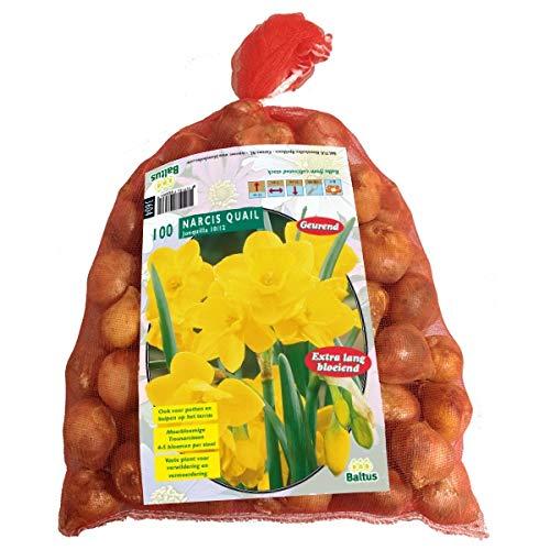 Narcis Mini Quail 100 Stück Osterglocken Narzissen Blumenzwiebel