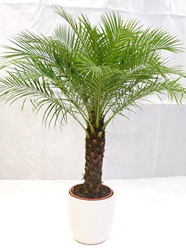 [Palmenlager] - Phoenix roebelenii 150 cm - dicker Stamm 40 cm, Zwergdattelpalme // Zimmerpalme...