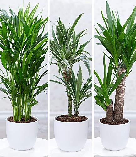 BALDUR-Garten Zimmerpflanzen-Mix Palme XXL, 3 Pflanzen 1 Pflanze Areca Palme, 1 Pflanze Dracena...