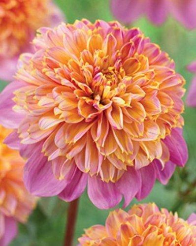 Anemonenblütige Dahlie Life Style Knolle Blumenzwiebeln (3)