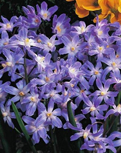 Sternhyazinthen Schneeglanz Chionodoxa forbesii (100 Blumenzwiebeln)