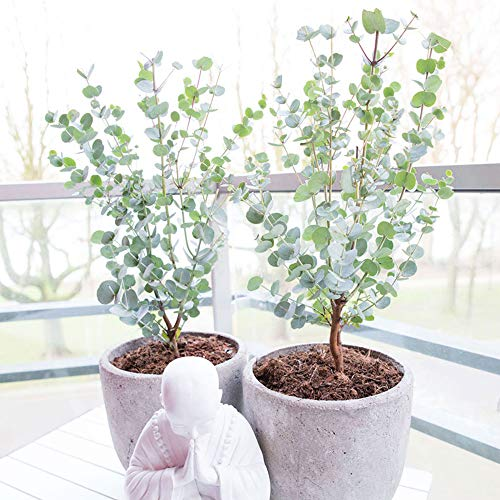 Eucalyptus gunnii'Azura' | Mostgummi-Eukalyptus | Eukalyptus Baum | Winterharte Pflanzen für Garten...