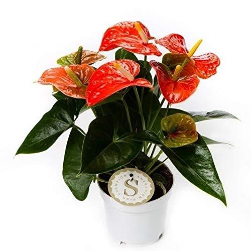 Flamingoblume, (Anthurium), pflegeleichte Zimmerpflanze, im 12cm Topf, (Orange, Sorte: Champion...