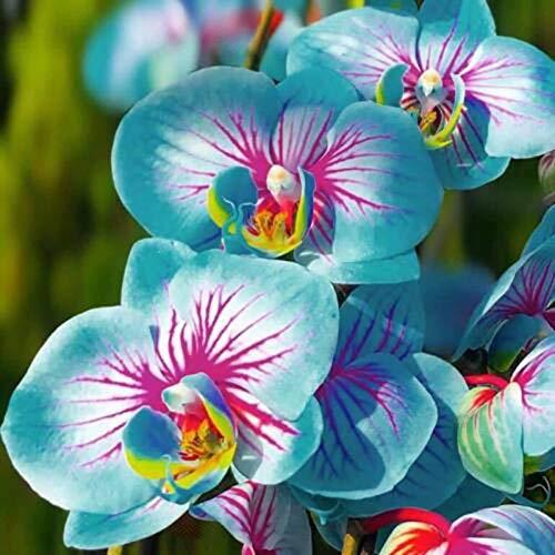 TOYHEART 100 Stück Premium-Blumensamen, Phalaenopsis-Samen Aromatische Cymbidium-Pflanzen...