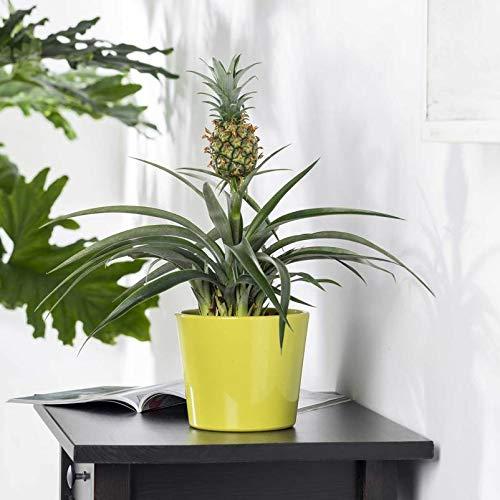 Pflanzen Kölle Zier-Ananas, Ananas comosus 'Amigo', Höhe ca. 45 cm