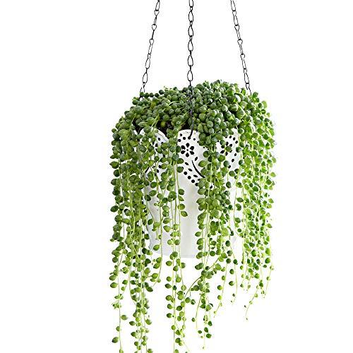 Senecio rowleyanus   Erbsenpflanze   Sukkulenten Zimmerpflanze   Hängepflanze Echt   Höhe 30-35 cm...