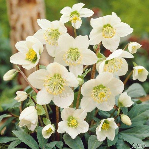 Weiße Christrose - Helleborus Niger - Die echte Schnee-Christrose als Winterblüher für den Garten...
