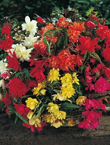 Begonien pendula hängend gemischt gefüllt Blumenzwiebeln Knollenbegonie (5 Blumenzwiebeln)