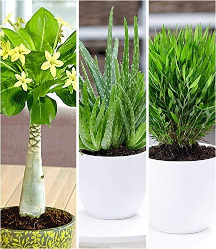 BALDUR-Garten Zimmerpflanzen-Mix Exotisch, 3 Pflanzen je 1 Pflanze Hawaii-Palme, Aloe Vera und...
