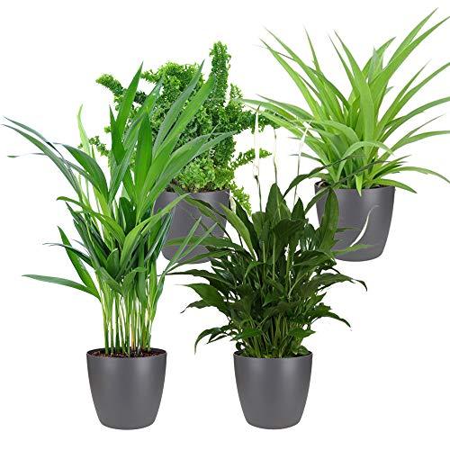 4er Set'Air so pure'   Luftreinigende Zimmerpflanzen Set   Vier Grünpflanzen mit Topf   Elho...