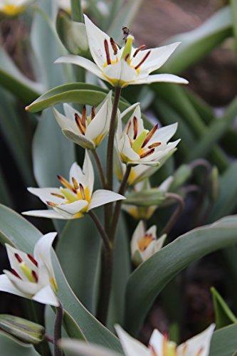 Wildtulpen Turkestanica Botanische Tulpenzwiebeln 50 Blumenzwiebeln
