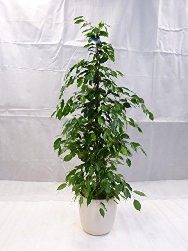 [Palmenlager] - Ficus benjamini'Exotica' 150/160 cm/Zimmerpflanze