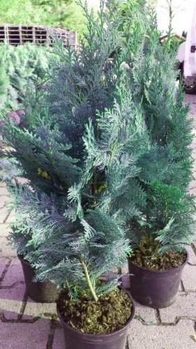 blaue Scheinzypresse Chamaecyparis lawsoniana Columnaris Glauca 80-100 cm hoch im 5 Liter...
