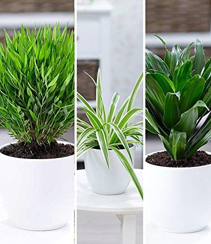 BALDUR-Garten Zimmerpflanzen-Mix Grünes Trio, 3 Pflanzen Luftreinigende Zimmerpflanzen je 1 Pflanze...