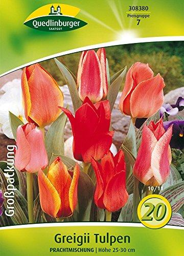 Quedlinburger 308380 Tulpe Greigii Prachtmischung (20 Stück) (Tulpenzwiebeln)