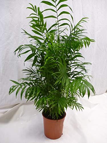 [Palmenlager] Chamaedorea elegans 100 cm/Bergpalme/dicht + buschig/seltene Zimmerpflanze