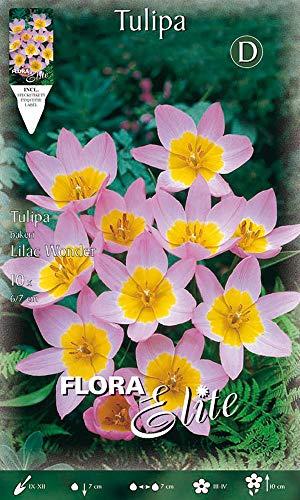 Wildtulpe 'Bakeri Lilac Wonder', purpurrosa, Mitte zitronengelb, niedrig, Blumenzwiebeln für...