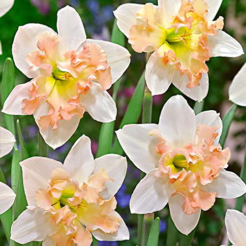 15x Narcissus Palmares   Narzissenzwiebeln   Weiß-rosa Blüten   Frühblühende Zwiebeln  ...