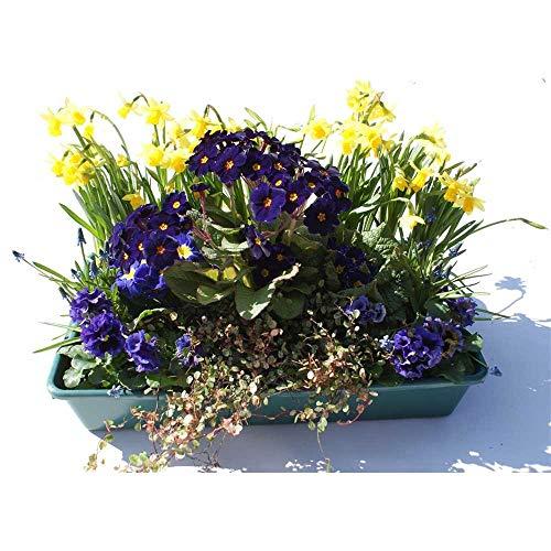 Frühlingspaket Bayern - 15 Frühlingspflanzen in blau in Gärtnerqualität von Blumen Eber - Kiste...
