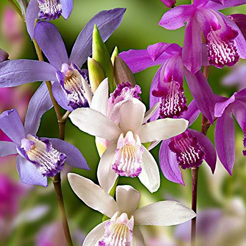 3x Bletilla striata | Orchideen Blumenzwiebeln Winterhart | Sommerblüher Mischung | Garten und...