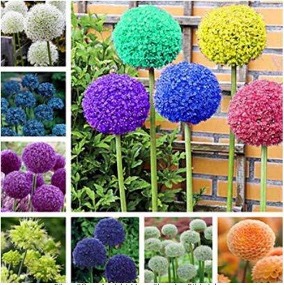 Beautytalk-Garten Riesen Zierlauch Allium giganteum Sternkugel Lauch Riesen Blumenlauch Duft-Allium...