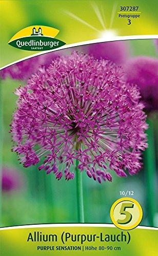 Quedlinburger 307287 Lauch Purple Sensation (5 Stück) (Zierlauchzwiebeln)