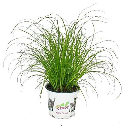 Exotenherz - Katzengras - Cyperus alternifolius - 3 Pflanzen - zur Verdauungsunterstützung von...