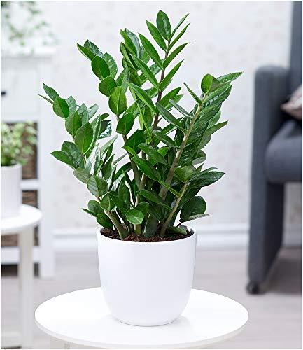 BALDUR Garten Zamioculcas, 1 Pflanze Glücksfeder, Zamie, Zamia Farn, Zamia Palme, Pflegeleichte...