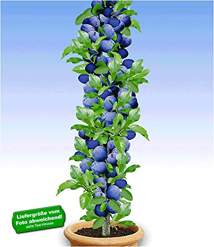 BALDUR-Garten Säulen-Pflaumen 'Black Amber', 1 Pflanze, Prunus domestica Säulenobst winterhart...