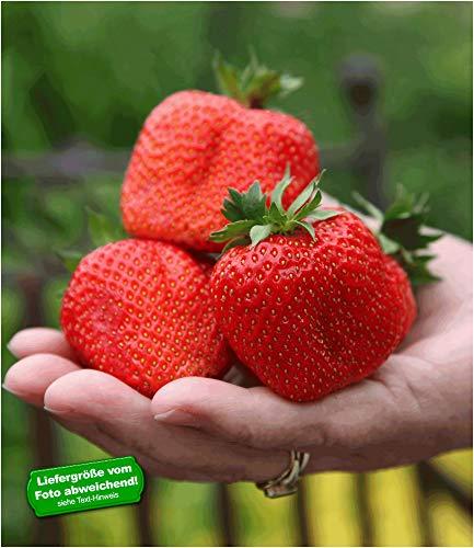 BALDUR Garten Erdbeere 'Sweet Mary XXL®', 3 Pflanzen Fragaria XXL Früchte und XXL Aroma...