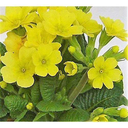 Primel veris, gelb, Echte Schlüsselblume, Primula veris - winterhart, im Topf 11 cm, in...