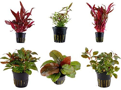 Tropica Pflanzen Set 6 schöne rote Topf Pflanzen Aquariumpflanzenset Nr.10 Wasserpflanzen Aquarium...
