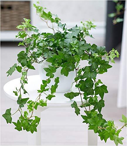 BALDUR Garten Efeu, 1 Pflanze Zimmerpflanze Hängepflanze Hedera Helix Zimmerpflanze