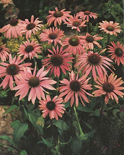 3 Echinacea purpurea Sonnenhut '3 Wurzelstücke' Staude Winterhart