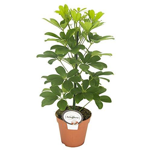 Strahlenaralie (Schefflera arboricola), luftreinigende Zimmerpflanze, pflegeleicht, ca. 45cm hoch im...