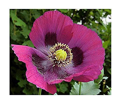 Violetter Mohn Laurens Grape - 1000 Samen