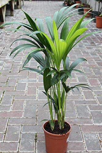 Zimmerpflanze für Wohnraum oder Büro – Howea Forsteriana – Kentia-Palme – Paradies-Palme....