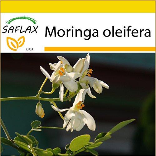 SAFLAX - Anzucht Set - Moringa - 10 Samen - Mit Mini-Gewächshaus, Anzuchtsubstrat und 2 Töpfen -...