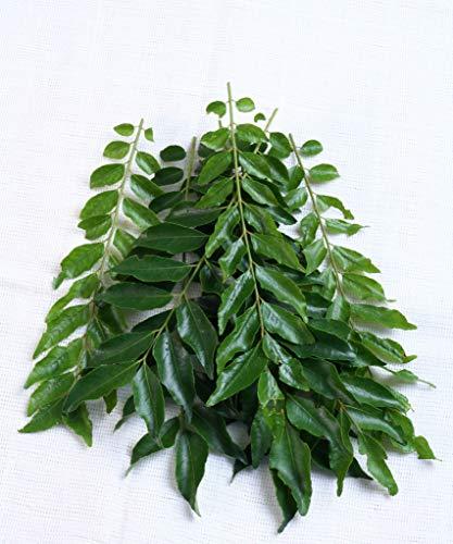Pinkdose Curry Pflanzensamen Murraya Koenigii - Aromatische Blatt der indischen Küche Samen für...